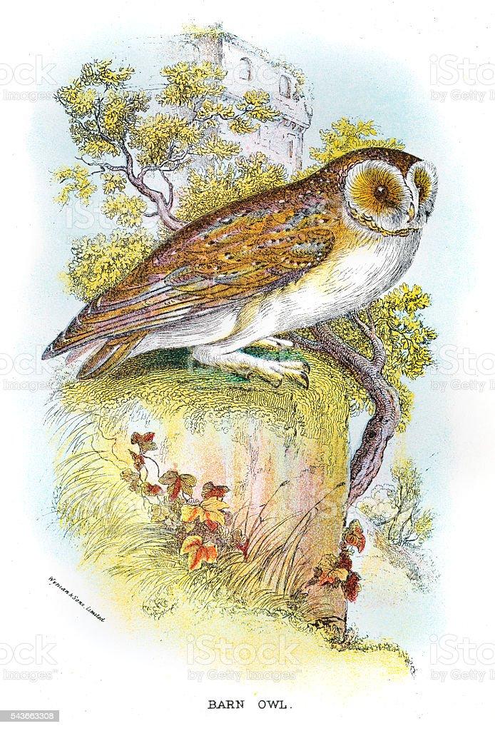 Barn Owl engraving 1896向量藝術插圖