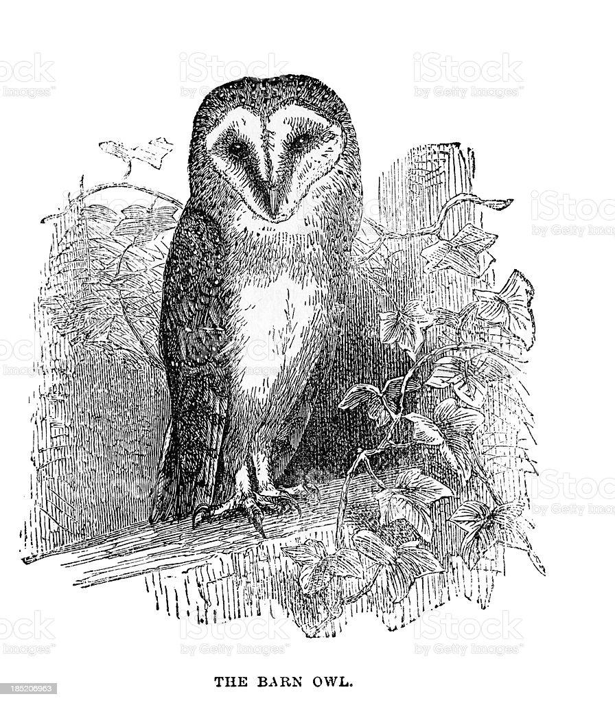 Barn Owl Illustration向量藝術插圖