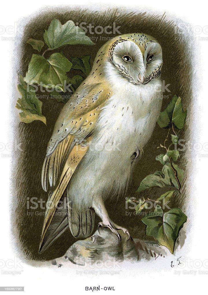 Barn Owl - Tyto alba向量藝術插圖