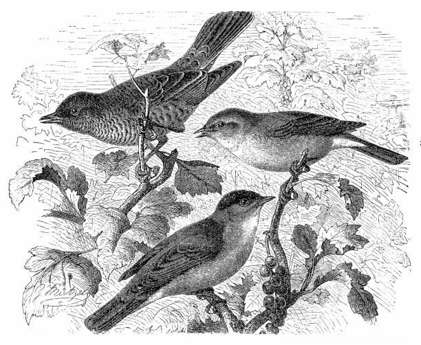 barred warbler, sylvia nisoria, eurasian blackcap, sylvia atricapilla, western orphean warbler, sylvia hortensis - bird watching stock illustrations, clip art, cartoons, & icons