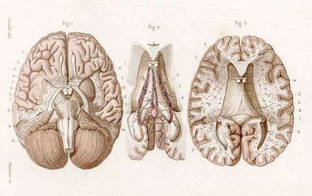 Base of brain anatomy engraving 1886 A Text book of Naked Eye Anatomy hippocampus brain stock illustrations