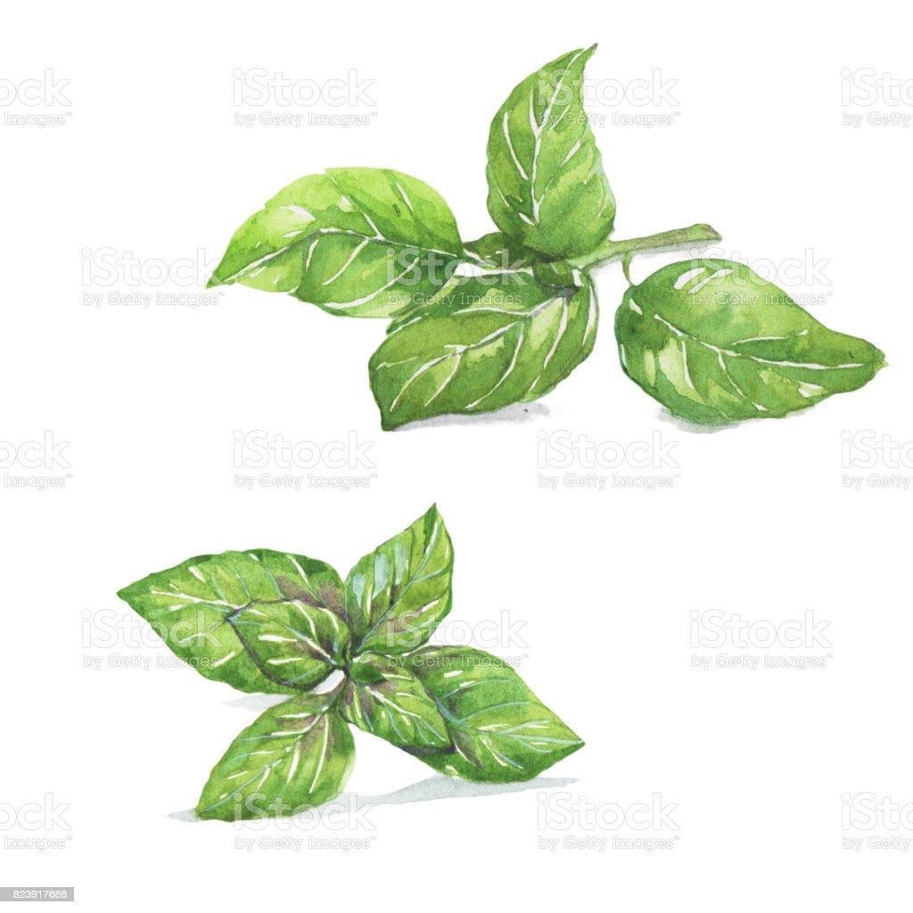 Basil. vector art illustration