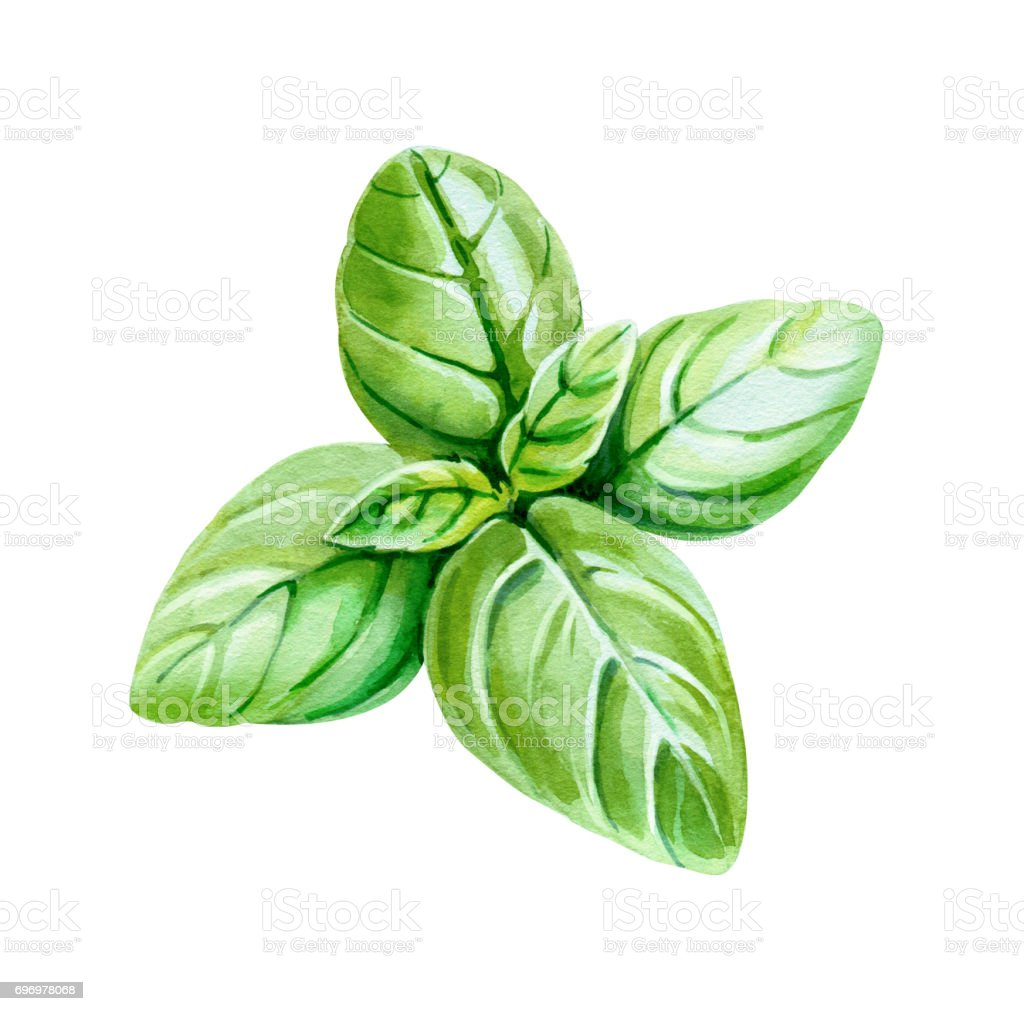 Basil leaves isolated on white watercolor illustration vector art illustration
