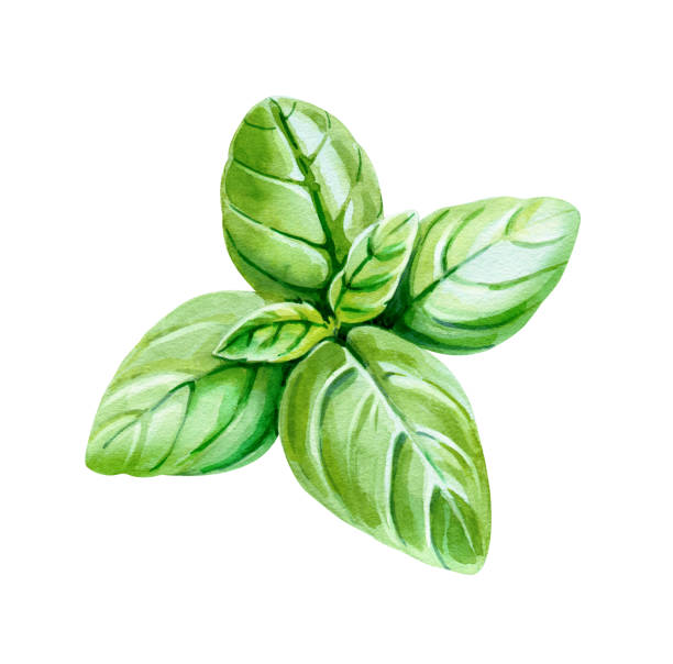 Basil leaves isolated on white watercolor illustration Watercolor illustration of fresh Basil leaves isolated on white background with clipping path included basil stock illustrations