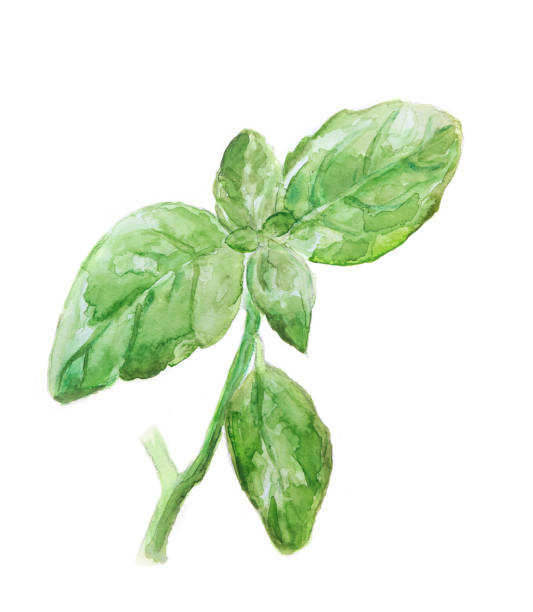 Basil - watercolor painting isolated on white vector art illustration