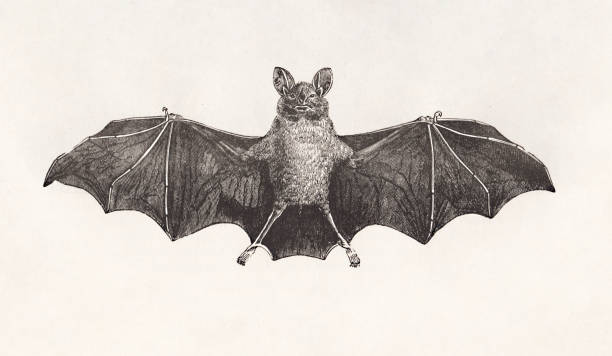 Bat antique french natural history illustration Vintage etching print with paper texture bat stock illustrations