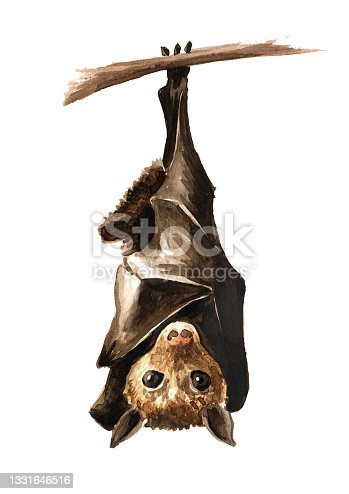 istock Bat hanging upside down on the branch. Hand drawn watercolor illustration, isolated on white background 1331646516