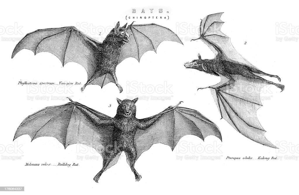 Bats - Chiroptera vector art illustration
