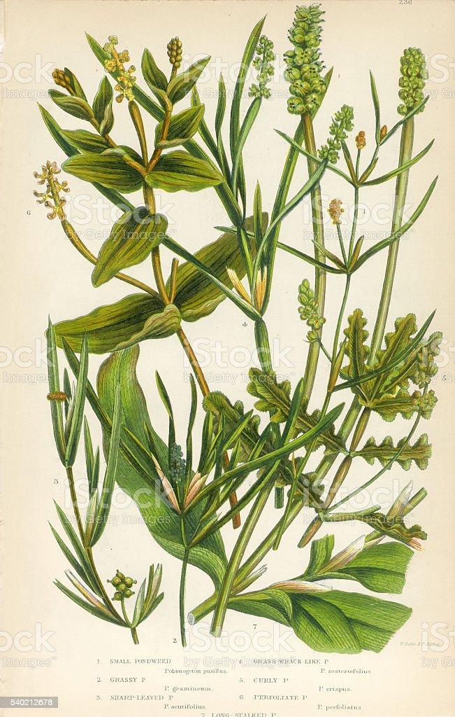 Bayroot, Pond Weed, Lemnoideae, Duckweed, Victorian Botanical Illustration vector art illustration