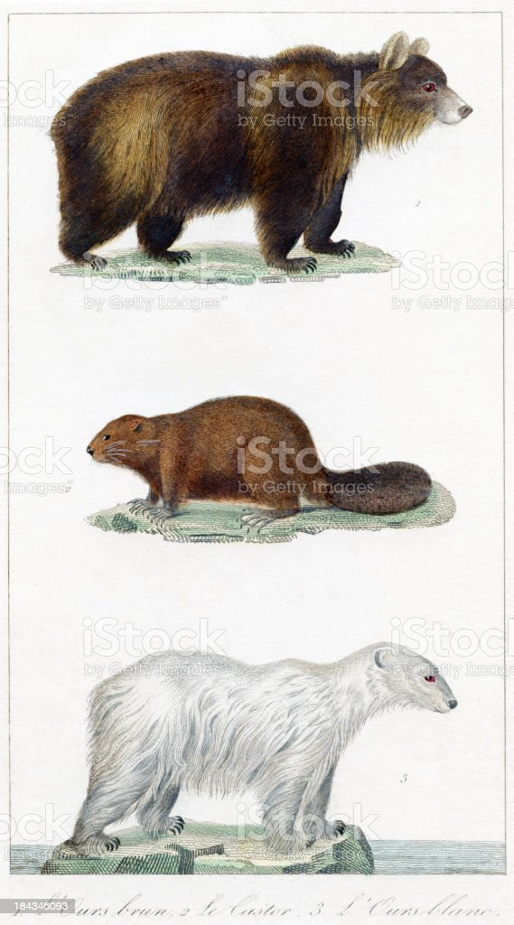bear, beaver, polar bea r - historic Illustration, 1837 royalty-free stock vector art