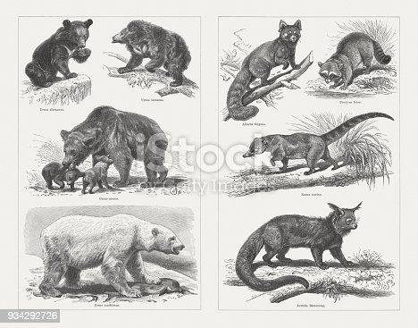 Bears: left side: Asian black bear (Ursus thibetanus); Sloth bear (Melursus ursinus, or Ursus labiatus); Brown bear (Ursus arctos); Polar bear (Ursus maritimus); right side: Red panda (Ailurus fulgens); Raccoon (Procyon lotor); White-nosed coati (Nasua narica); Binturong (Arctictis binturong). Wood engravings, published in 1897.