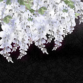 beautiful blooming white wisteria branches on dark decorated with leaves background