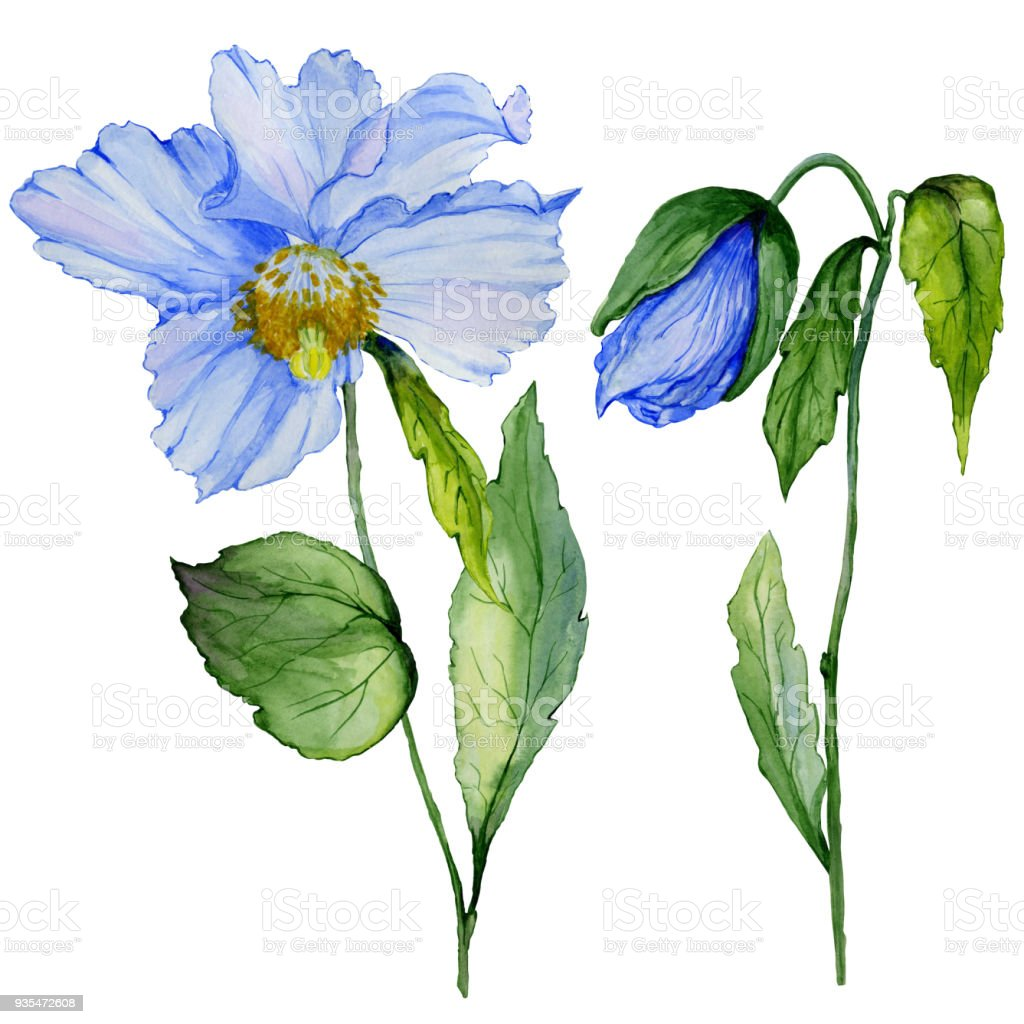 Beautiful Blue Poppy Flower With Green Leaves Set Large Meconopsis