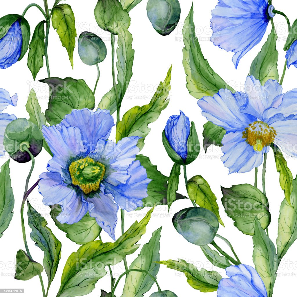 Beautiful Blue Poppy Flowers With Green Leaves On White Background
