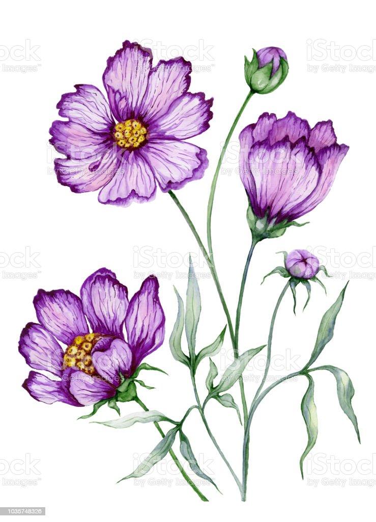 Hermosa ilustración botánica (flor de cosmos púrpura en el tallo con las hojas).  Flores aisladas sobre fondo blanco. Pintura de la acuarela. - ilustración de arte vectorial