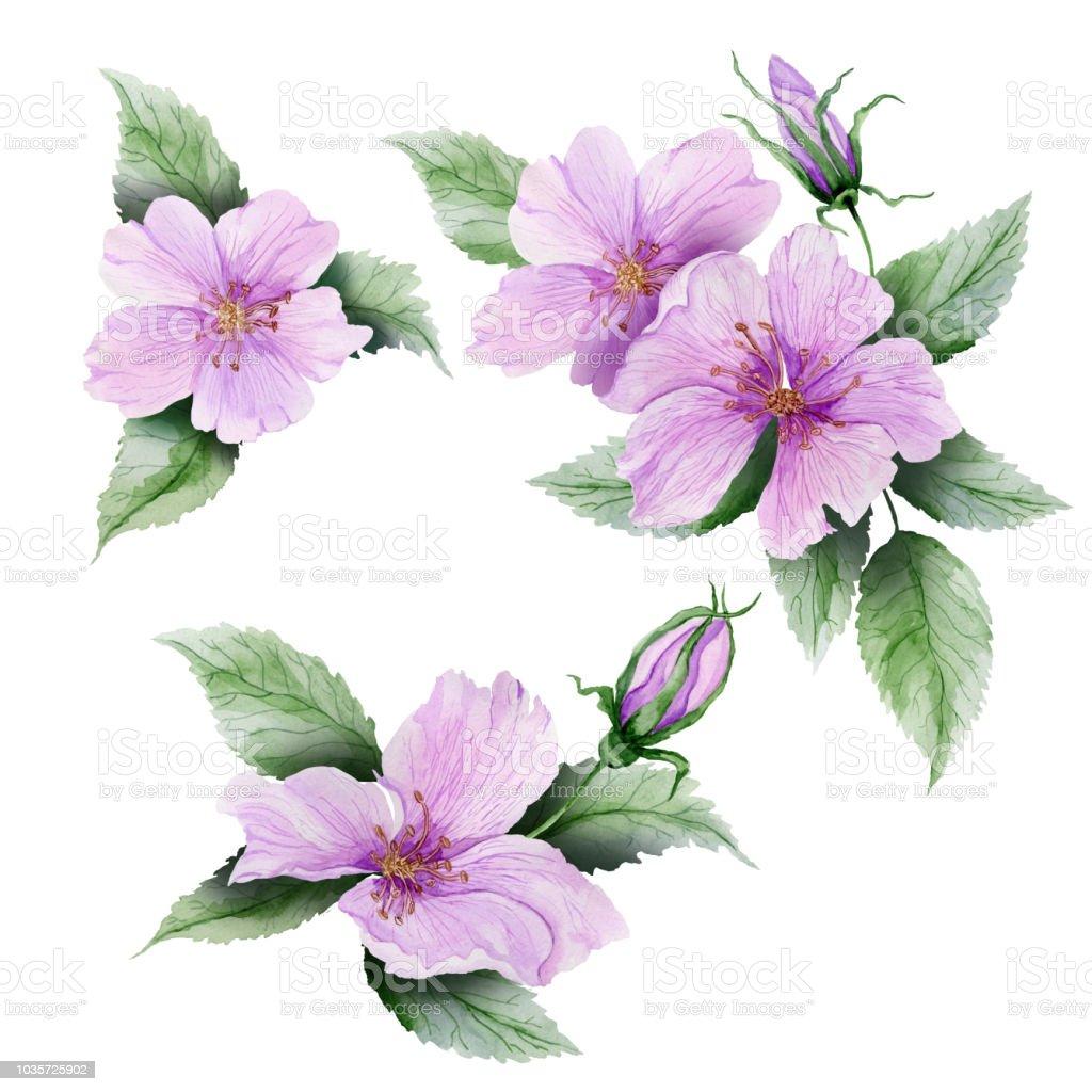 Hermoso conjunto Botánico (flores de brezo rosa con hojas y capullos cerrados).  Rosa mosqueta ramitas y aislado sobre fondo blanco. Pintura de la acuarela. - ilustración de arte vectorial
