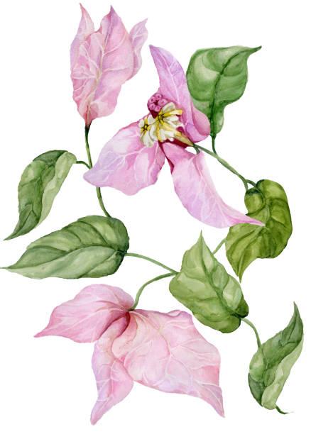 Flores hermosas buganvillas en una ramita con hojas verdes. Aislado sobre fondo blanco. Pintura de la acuarela. - ilustración de arte vectorial