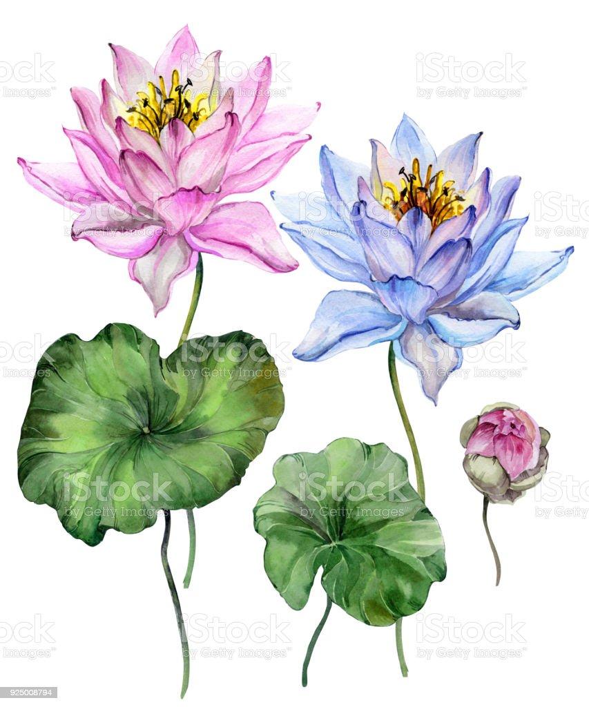 Beautiful bright blue and purple lotus flowers floral set isolated beautiful bright blue and purple lotus flowers floral set flower on stem bud izmirmasajfo