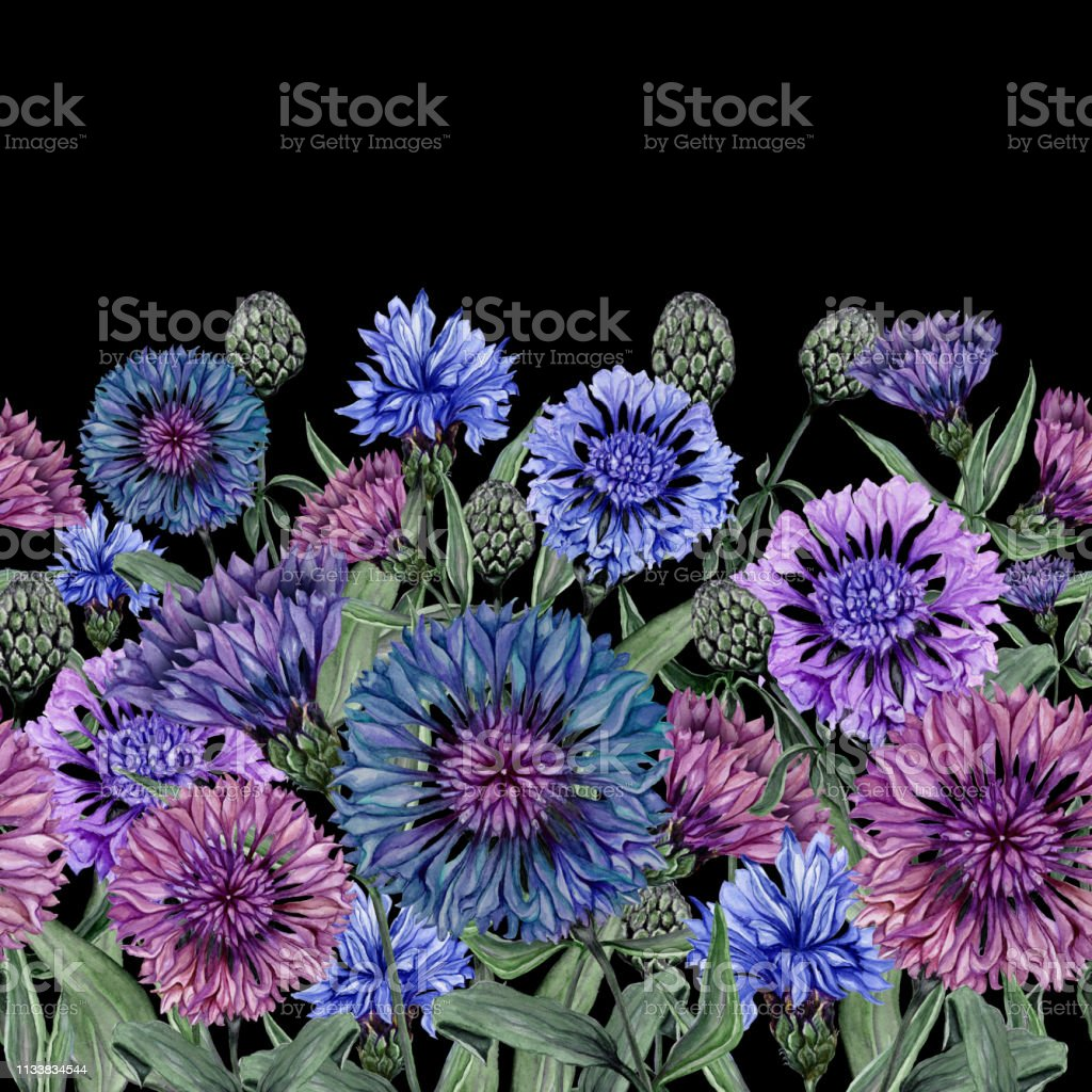 Beautiful Centaurea Flowers With Green Leaves On Black Background