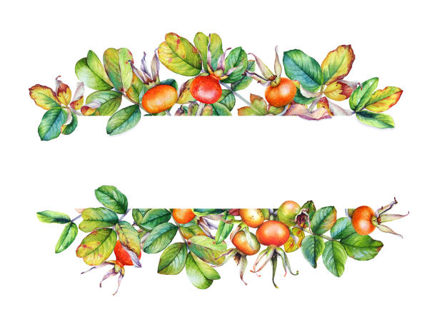 Beautiful frame with hand painted watercolor rosehip branches with berries on white background Beautiful watercolor frame with hand painted rosehip branches with berries isolated on white background. Useful for banners, cards and many other. fruit borders stock illustrations