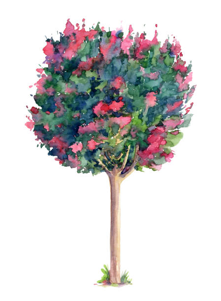 Best Crepe Myrtle Tree Illustrations Royalty Free Vector