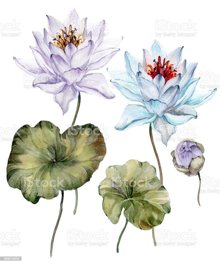 Fleurs de belle lotus bleu et violet clair ensemble floral isol sur fond blanc peinture - Belle fleur a dessiner ...