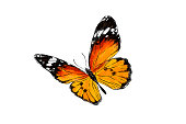 Beautiful monarch butterfly isolated on white background. Realistic hand drawing illustration. Insect collection