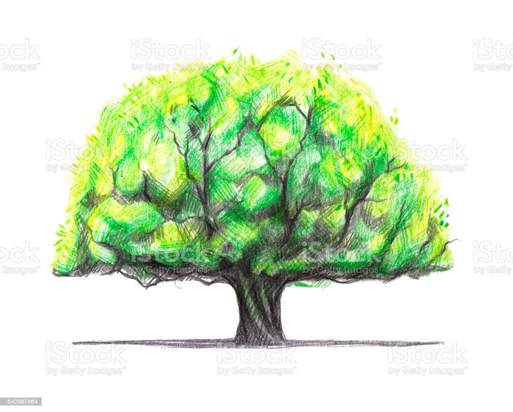 Beautiful Old Oak Tree Painted With Colored Pencils Stock Vector Art ...