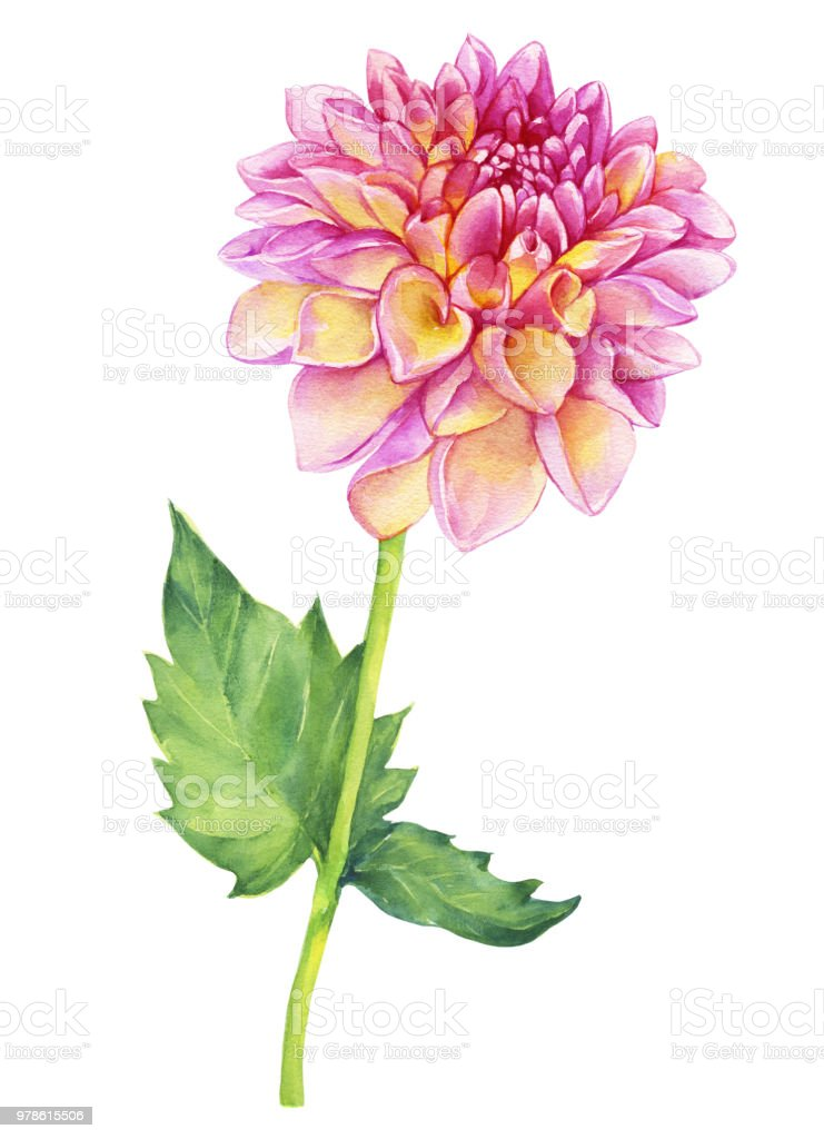 Beautiful Pink Dahlia Flower Garden Closeup Dahlia Flower For Wedding Invitation Valentines Day Mothers Day Watercolor Hand Drawn Painting Illustration Isolated On White Background Stock Illustration Download Image Now Istock