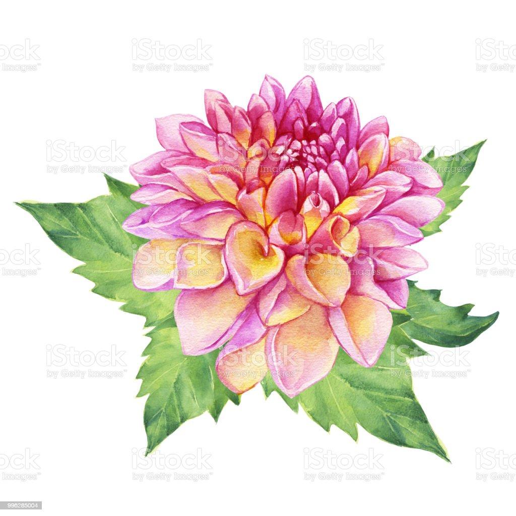 Beautiful Pink Dahlia Flower Garden Closeup Dahlia Flower For