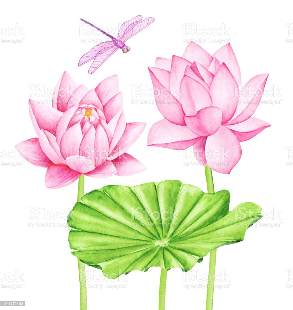 Beautiful pink lotus flowers and cute dragonfly watercolor beautiful pink lotus flowers and cute dragonfly watercolor illustration royalty free beautiful pink izmirmasajfo