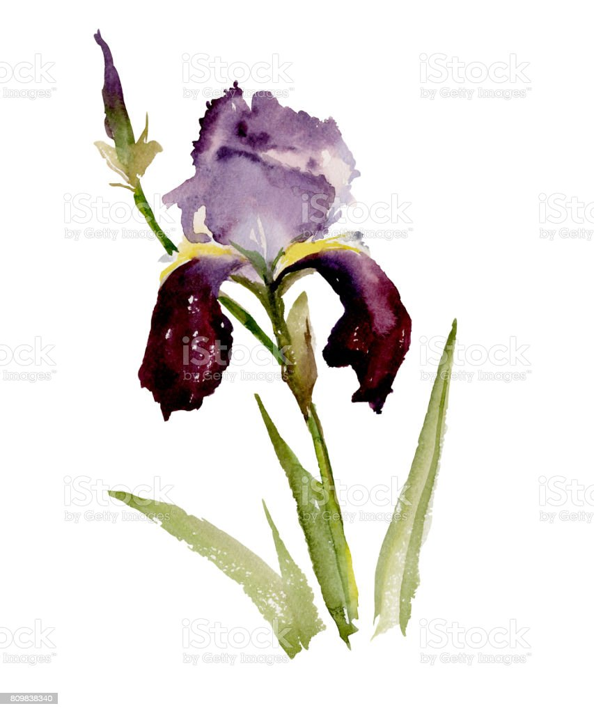 Beautiful purple iris on white background watercolor painting stock beautiful purple iris flower and bud on white background watercolor painting royalty izmirmasajfo Image collections
