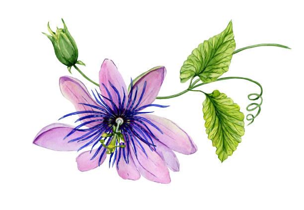 아름 다운 보라색 시계 (열정 꽃) 녹색 잎과 덩굴 나뭇가지에. 흰색 배경에 고립. 수채화 그림입니다. - 시계꽃속 stock illustrations