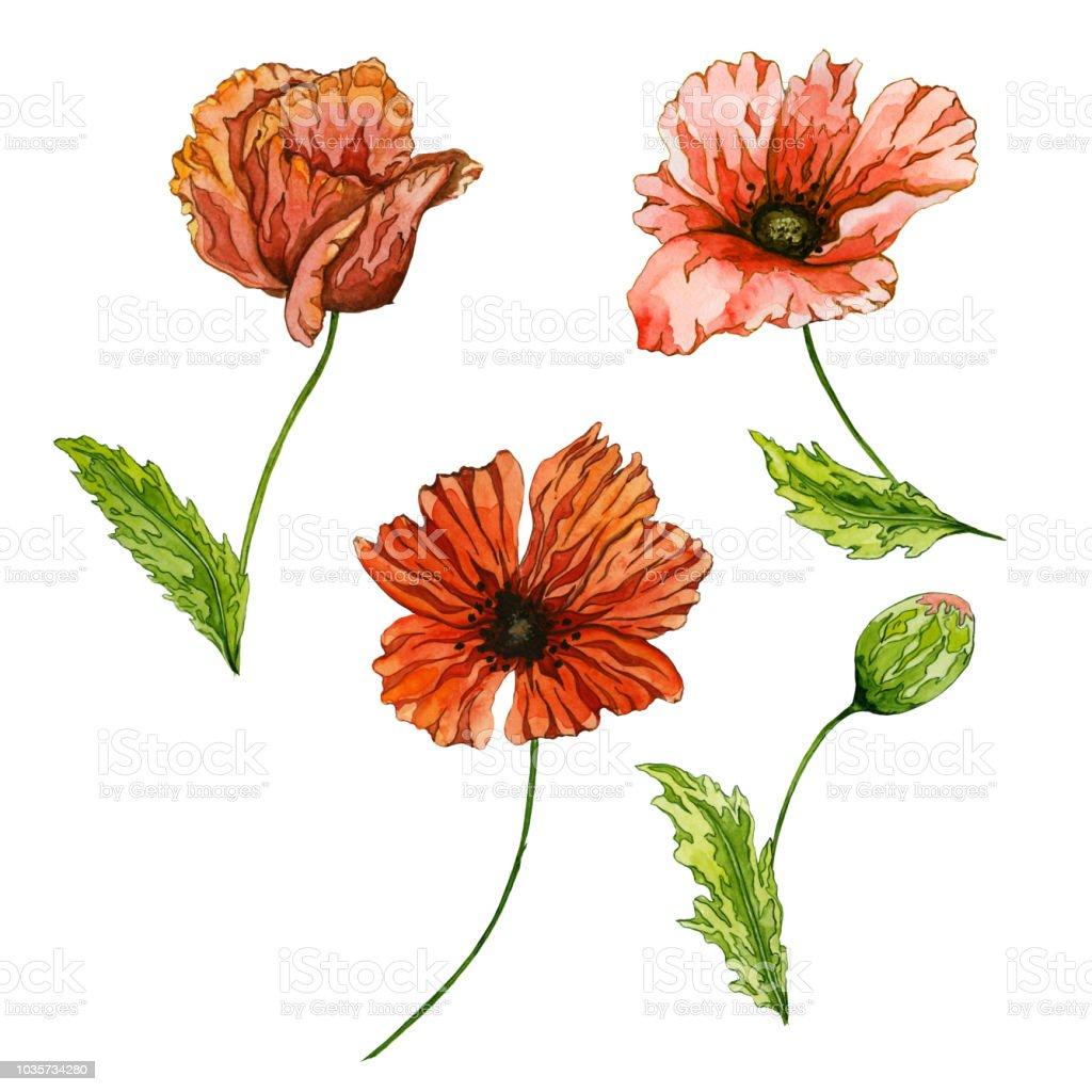 Ilustración de Hermosa Flor De Amapola Roja Con Hojas De Color Verde ...