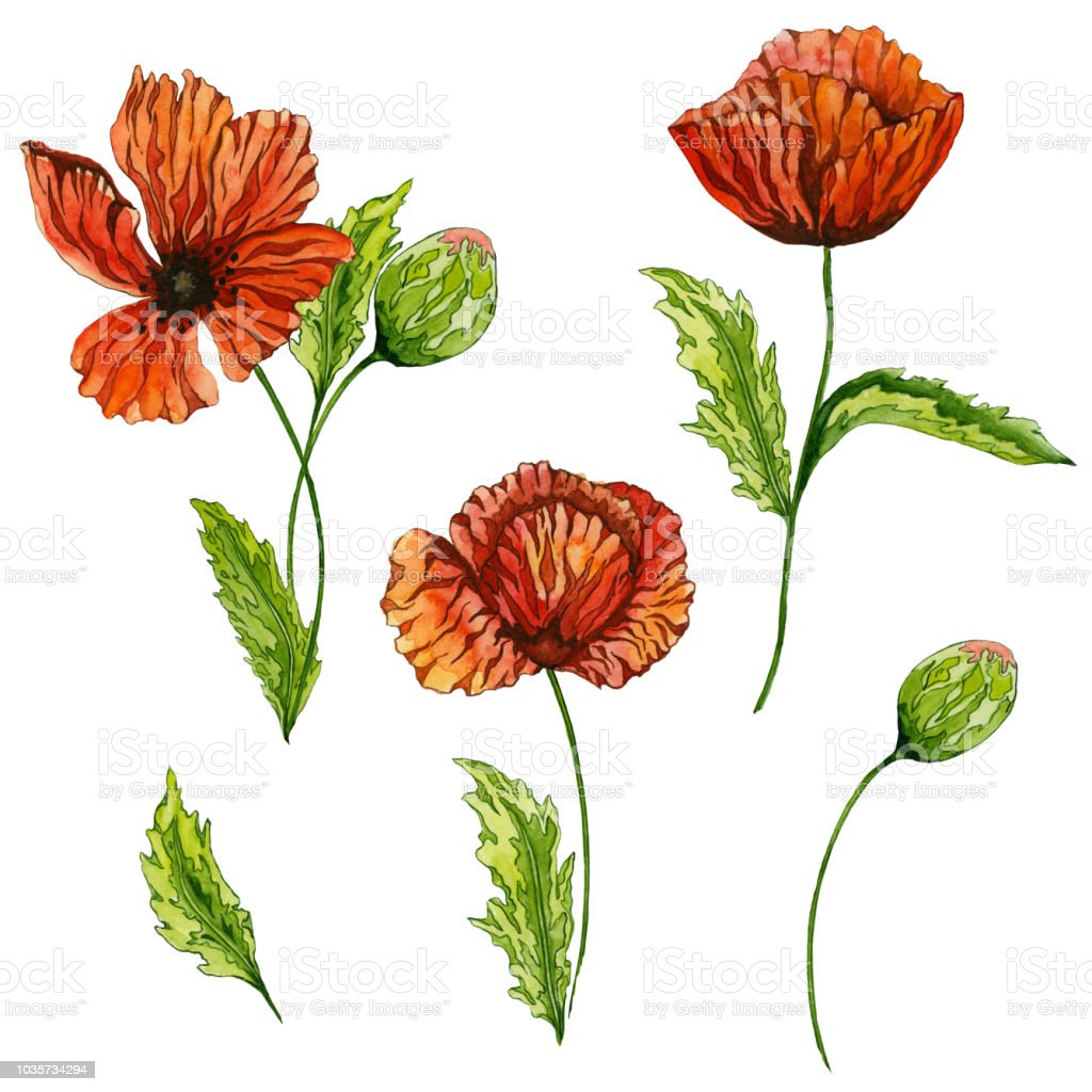 Beautiful Red Poppy Flower With Green Leaves Set Of Images Large