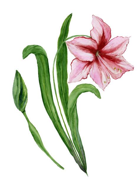bildbanksillustrationer, clip art samt tecknat material och ikoner med vackra våren blommig illustration. rosa amaryllis (blomma på en stjälk med blad och stängda bud) isolerade på vit bakgrund. akvarellmålning. hand målade bilden. - amaryllis