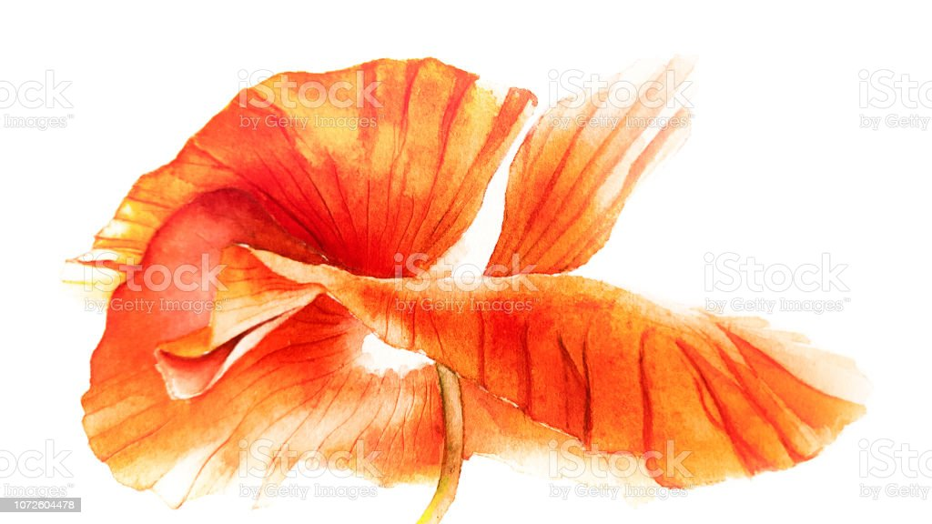 Beautiful Watercolor Poppies Watercolor Painting Poppy Flowers Heart
