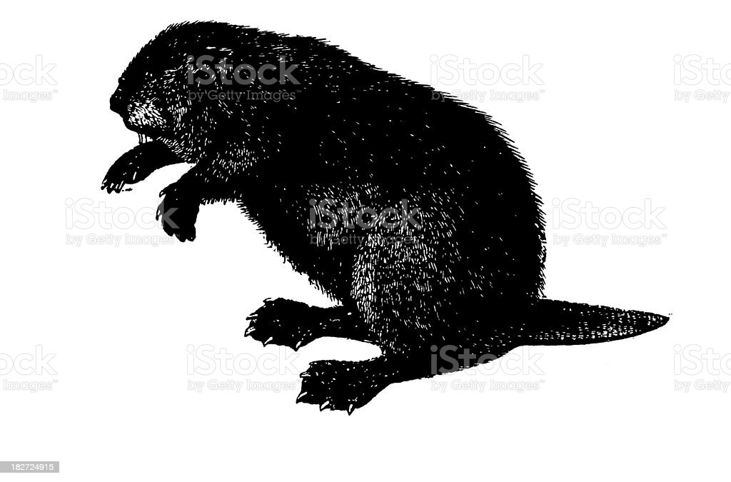 Beaver | Antique Animal Illustrations royalty-free stock vector art