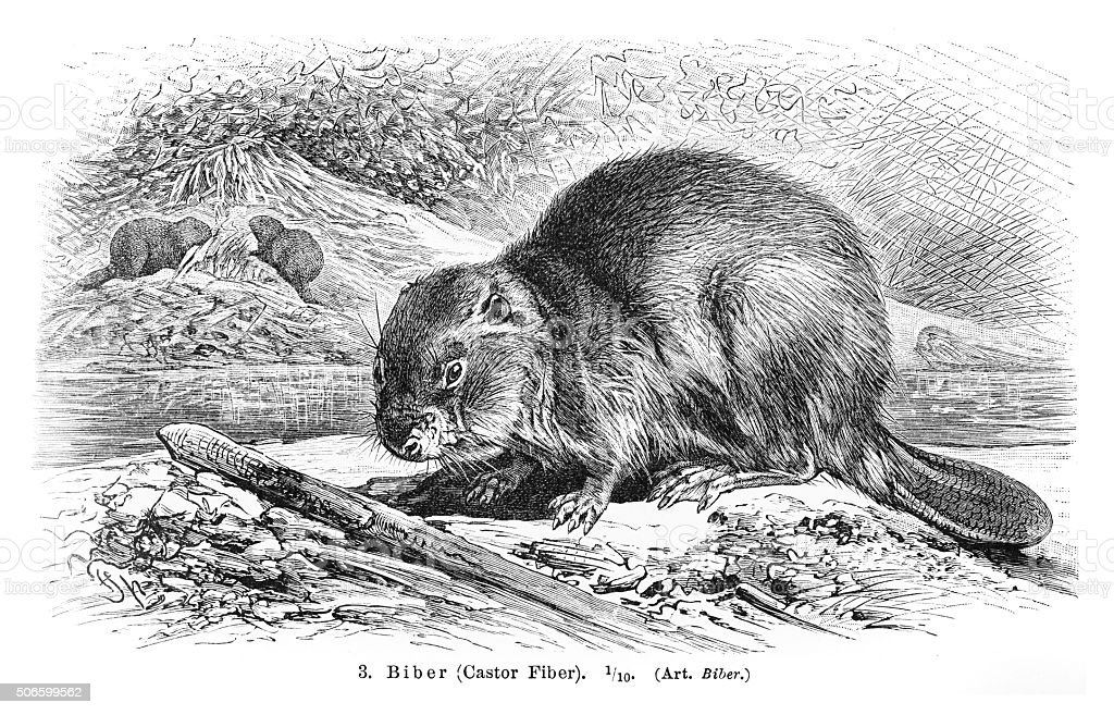 Beaver engraving 1896 vector art illustration