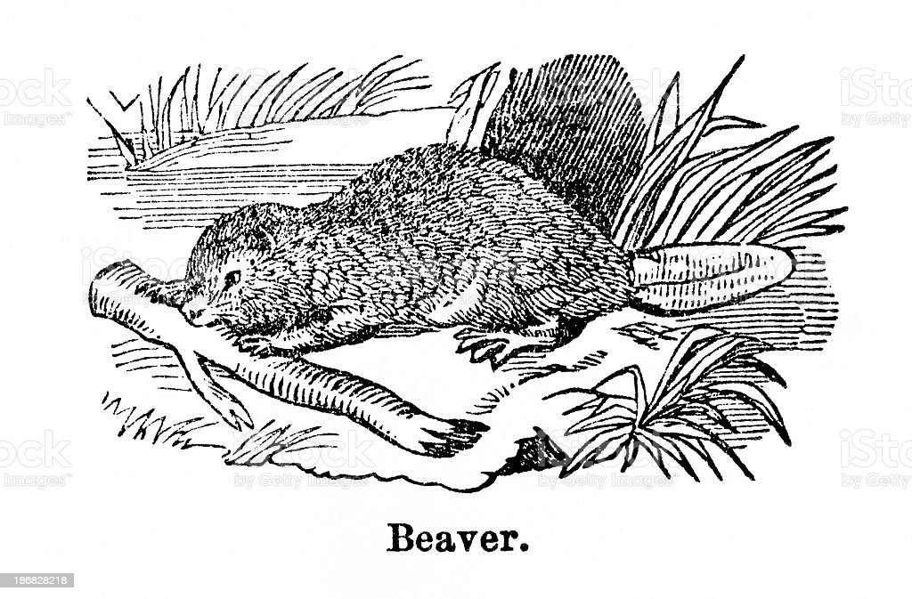 beaver engraving royalty-free stock vector art