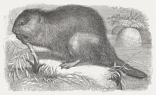 Beaver (Castoridae), wood engraving