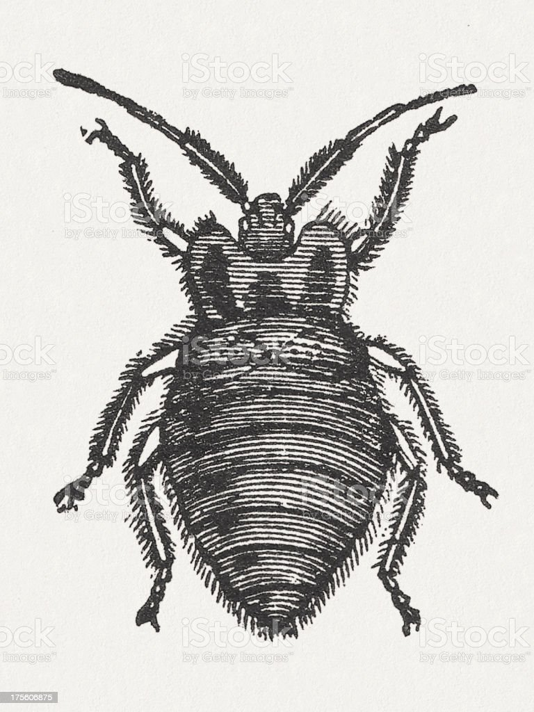Bed Bug Wood Engraving Published In 1865 Stock Vector Art More