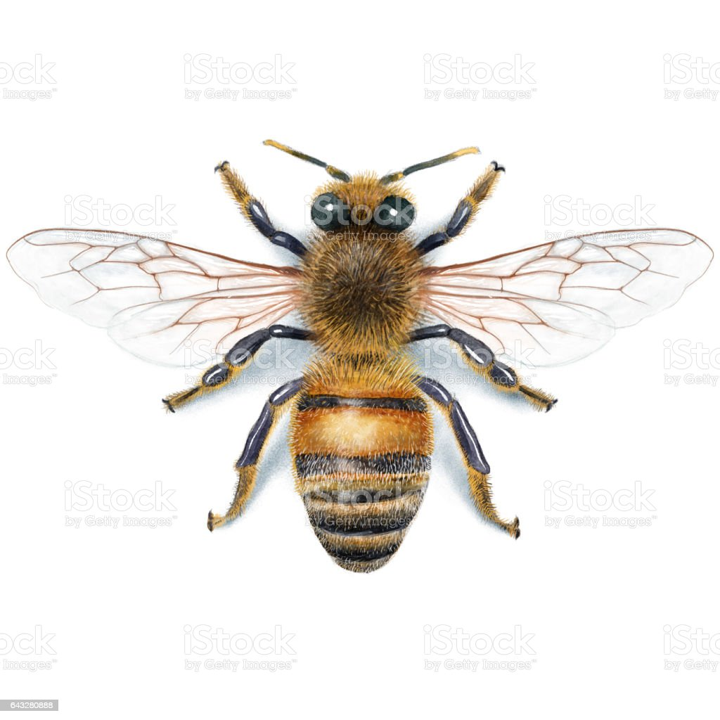Bee illustration, watercolour, drawing, ink, realistic vector art illustration