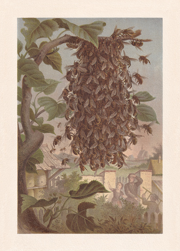 Bee swarm on a tree branch, chromolithograph, published in 1884