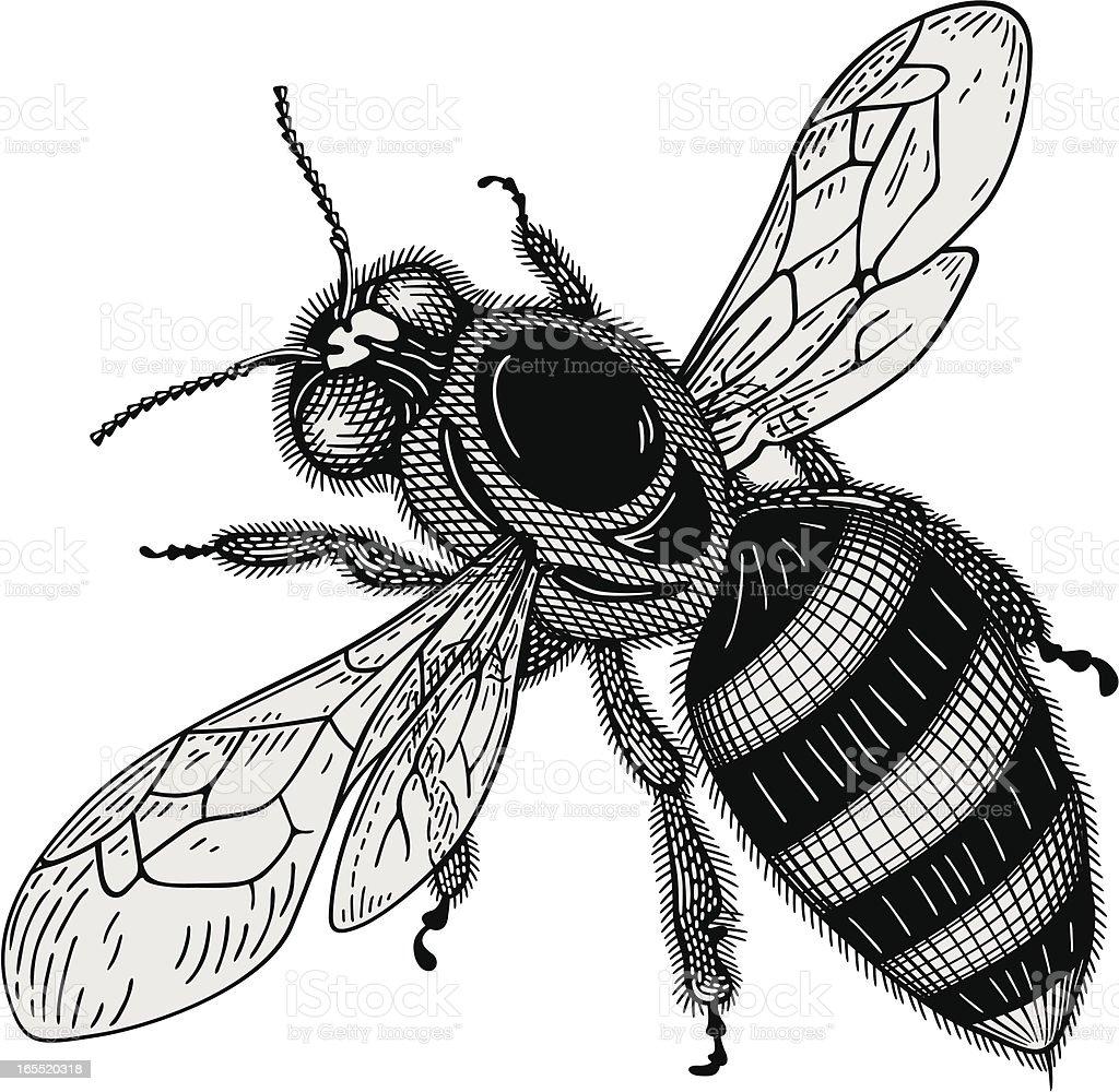 Biene Vektor - Lizenzfrei Biene Vektorgrafik