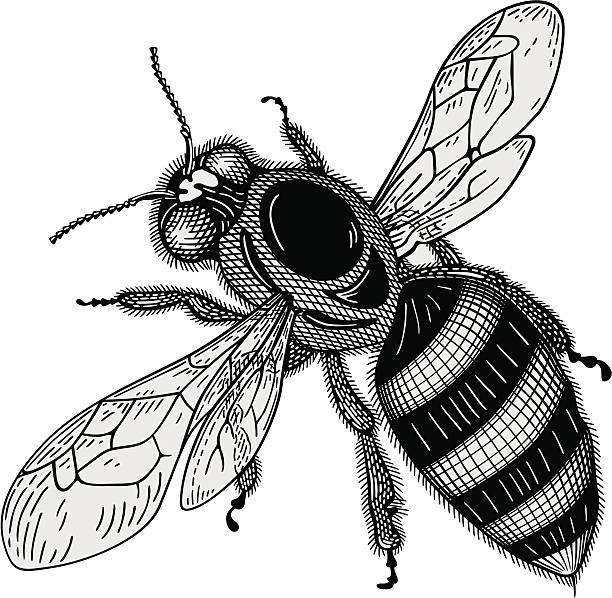 Bee vector Bee engraving vector arthropod stock illustrations