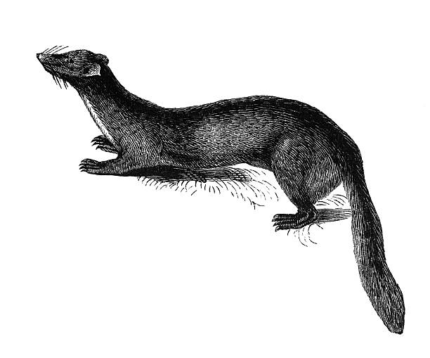 """Beech marten """"The beech marten (Martes foina), also known as the stone marten or white breasted marten, is a species of marten native to much of Europe and Central Asia, though it has established a feral population in North America. Illustration was published in 1870"""" ermine stock illustrations"""