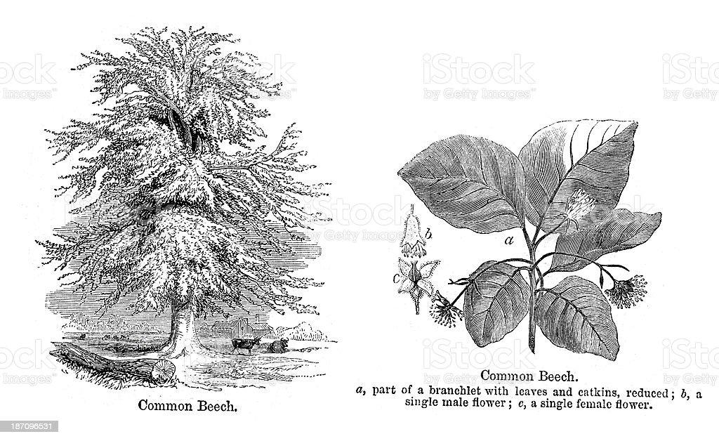 Beech Tree vector art illustration