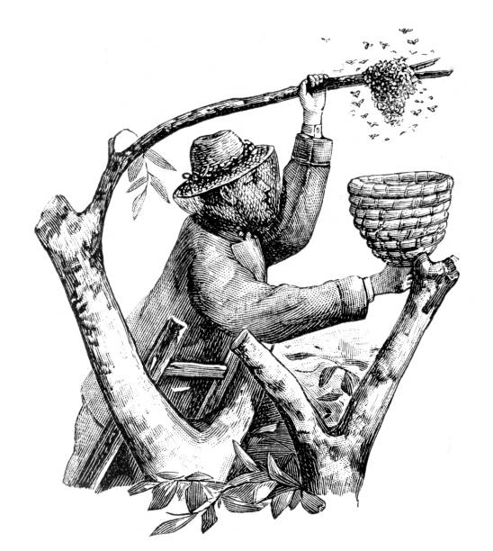 """Beekeeper reaping honey from tree 1897 Steel engraving Beekeeper reaping honey from tree Original edition from my own archives Source : """"Gartenlaube"""" 1897 beekeeper stock illustrations"""