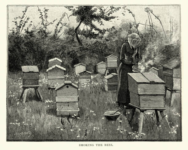 Beekeeping, Female beekeeper smoking bee hives, 19th Century Vintage engraving of Beekeeping, Female beekeeper smoking bee hives, 19th Century. Beekeeping (or apiculture) is the maintenance of bee colonies, commonly in man-made hives, by humans. beekeeper stock illustrations